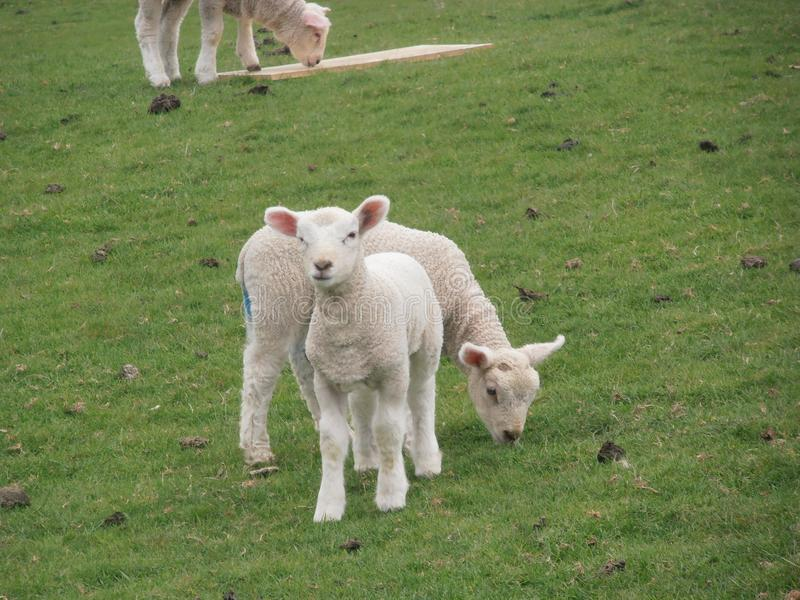 Милые овечки стоковое изображение rf