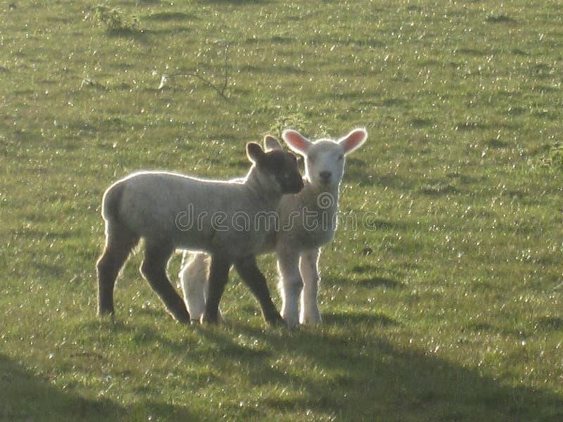 Милые овечки стоковые изображения