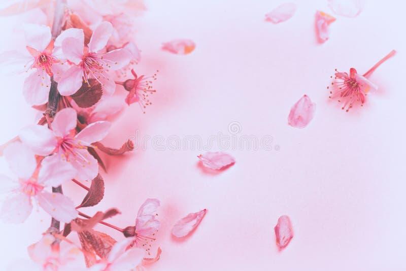 Милые розовые слива или вишневые цвета на пастельной розовой предпосы стоковое изображение rf
