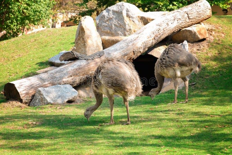 Милые страусы nandu в зоологическом саде стоковое фото