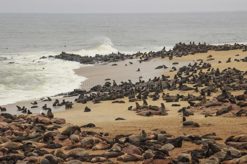 Милые уплотнения дурят на берегах Атлантического океана в Намибии стоковое изображение