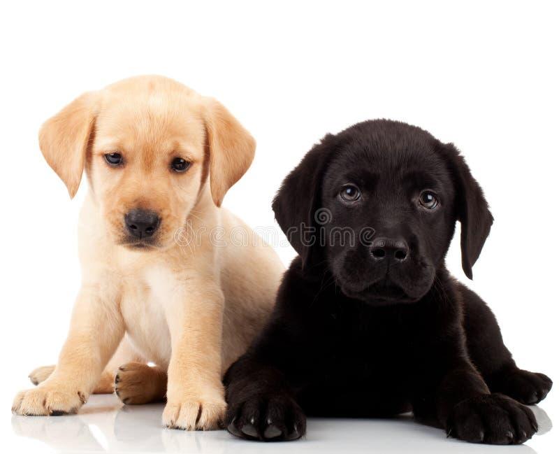 милые щенята 2 labrador стоковые фото