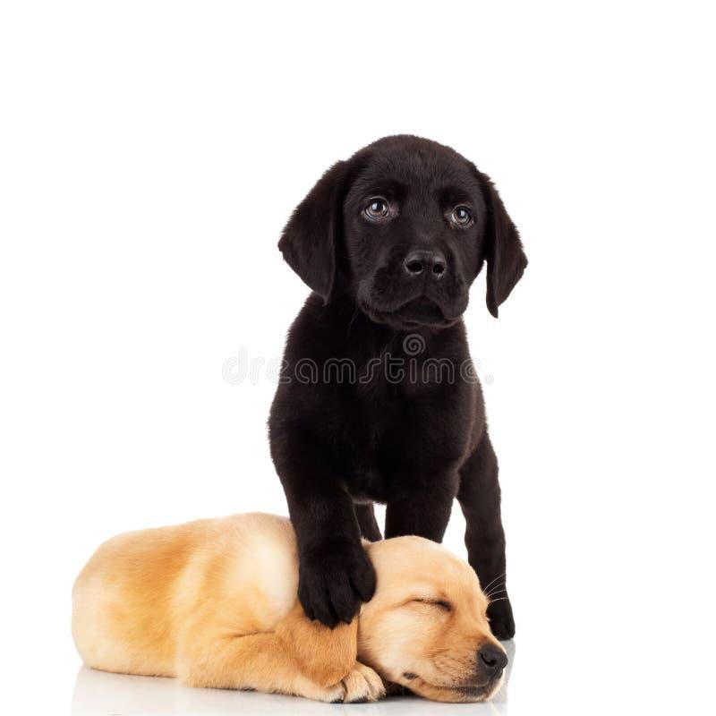 милые щенята labrador стоковая фотография rf