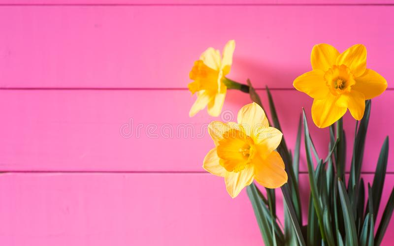 Милые Daffodils весны против яркой розовой стены предпосылки доск с космосом экземпляра Horizontial с взглядом со стороны стоковая фотография