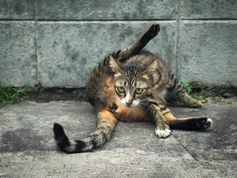 Милый вылизанный кот очищает сидя на поле стоковые изображения