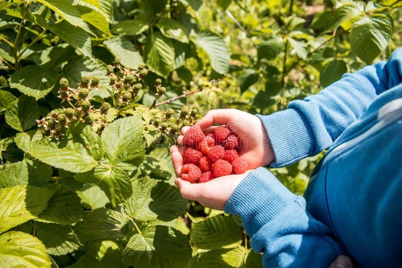 Милый голубоглазый мальчик собирает из куста малину. урожай в руках реРстоковая фотография