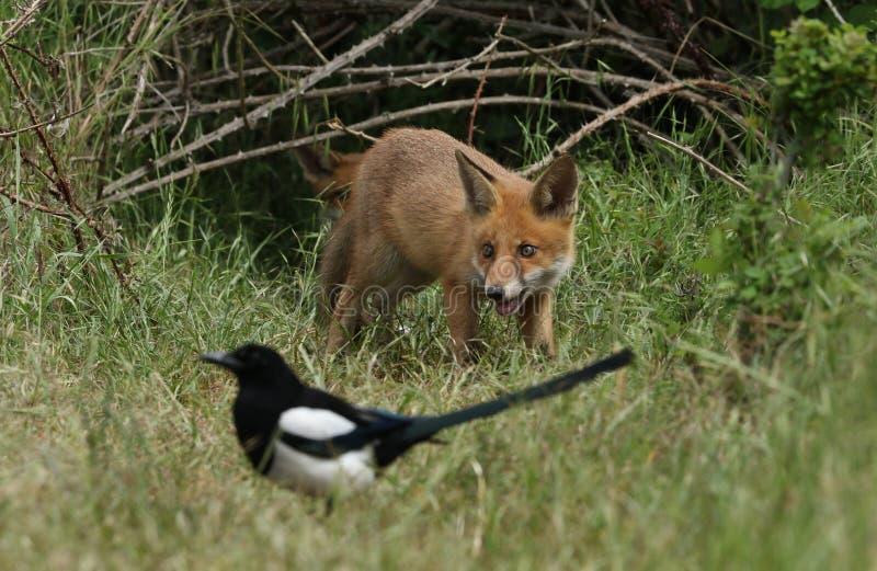 Милый дикий красный Fox Cub, лисица лисицы, питаясь в длинной траве на входе к своему вертепу стоковая фотография