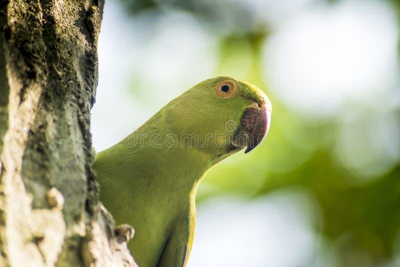 Милый длиннохвостый попугай Alexandrine пряча за деревом стоковое фото