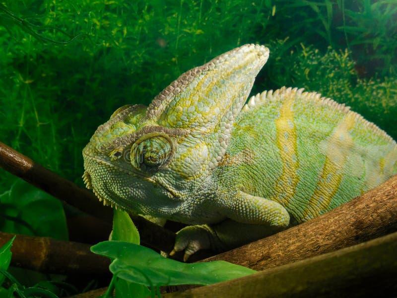 Милый зеленый хамелеон Россия, Челябинск стоковые фотографии rf