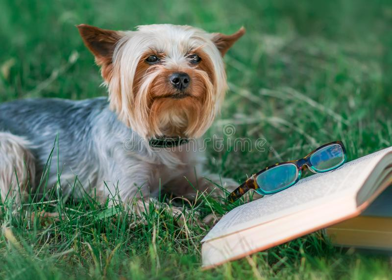 Милый йоркширский терьер любимчика лежа на зеленой траве рядом с открытой книгой и стеклами Чтение собаки в парке лета стоковая фотография rf