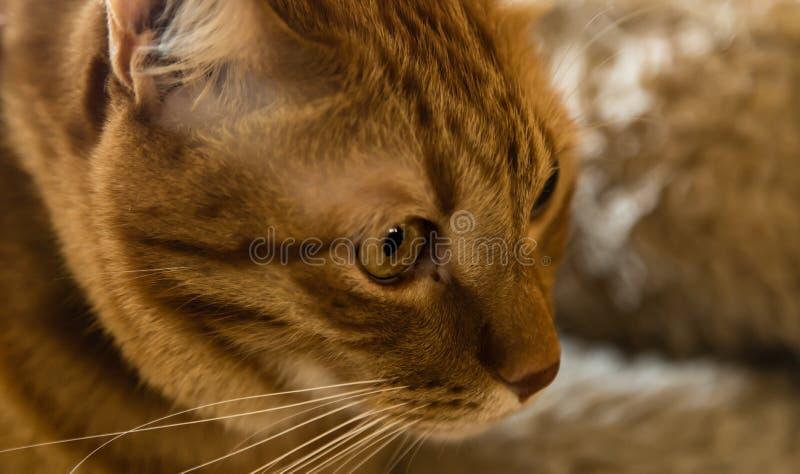 Милый коричневый взгляд крупного плана стороны кота стоковые изображения