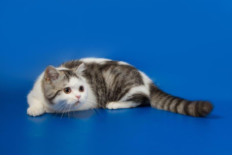 Милый котенок играя на голубой предпосылке стоковая фотография