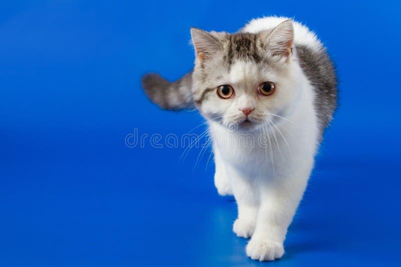 Милый котенок идя на голубую предпосылку стоковые изображения
