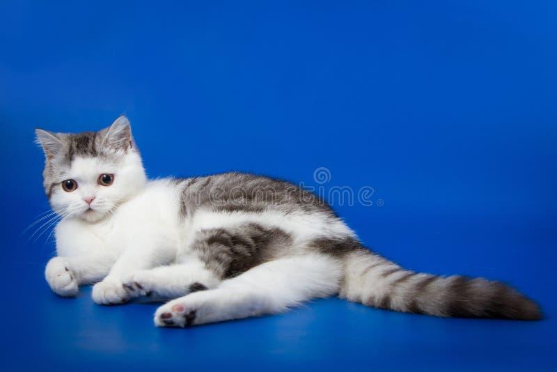 Милый котенок лежа на голубой предпосылке стоковые изображения