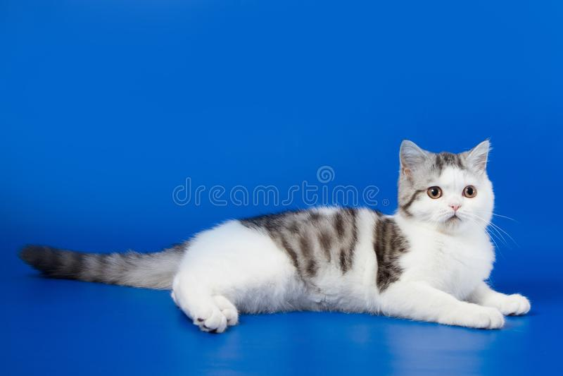 Милый котенок лежа на голубой предпосылке стоковое изображение