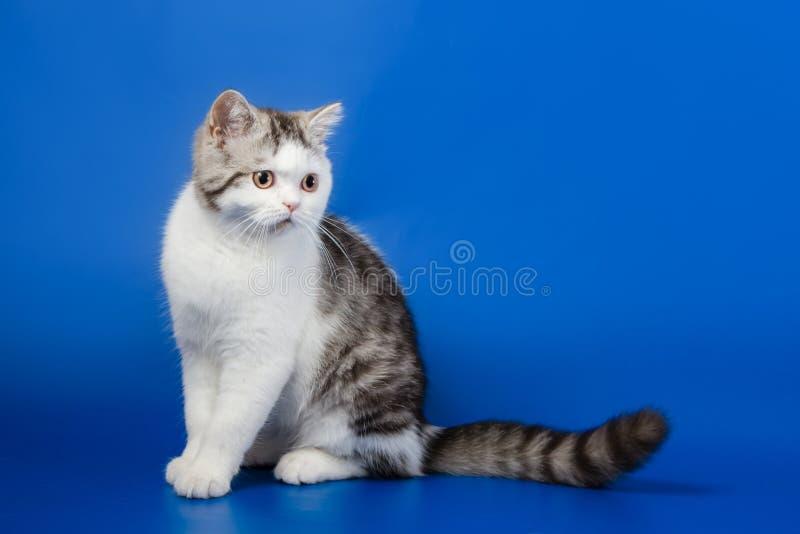 Милый котенок сидя на голубой предпосылке стоковые фото