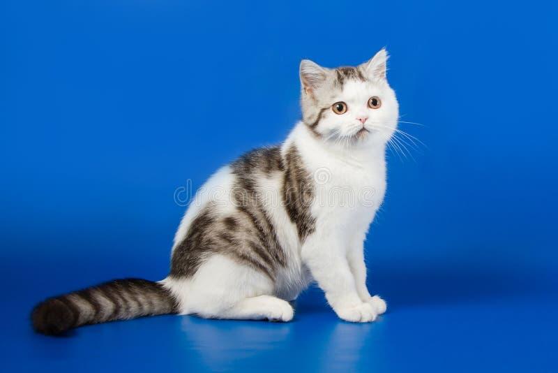 Милый котенок сидя на голубой предпосылке стоковые изображения rf