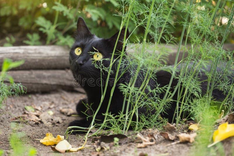 Милый кот bombay черный с лож взгляда проницательности в природе стоковое фото