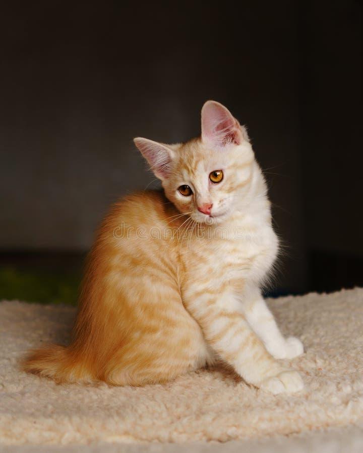 милый красный цвет котенка стоковые изображения rf