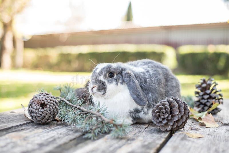 Милый любимчик зайчика идя на деревянный стол с соснами внешними стоковая фотография rf