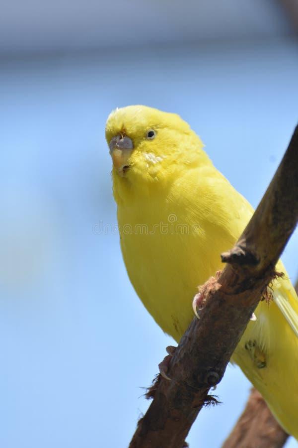 Милый маленький желтый длиннохвостый попугай в тропическом лесе стоковые изображения