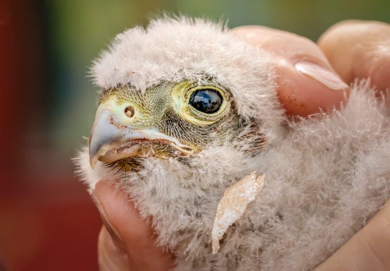 Милый маленький молодой птенец kestrel захваченный для звенеть стоковая фотография rf