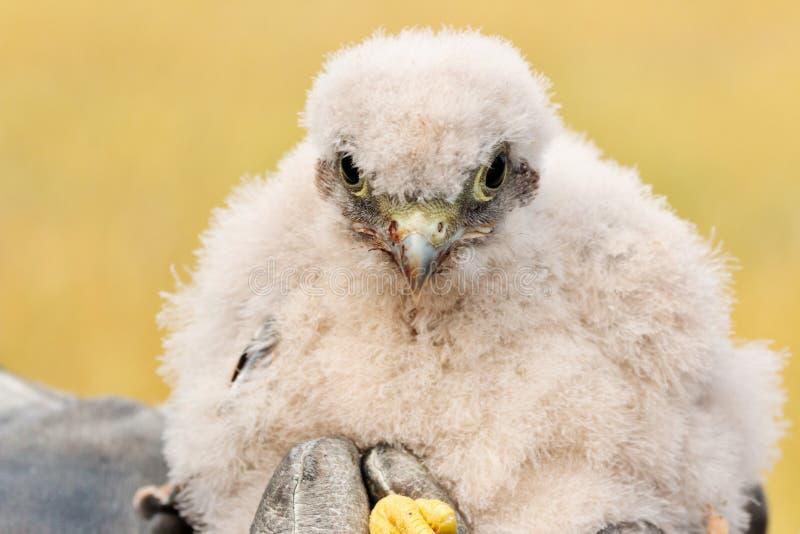 Милый маленький молодой птенец kestrel захваченный для звенеть стоковые фотографии rf