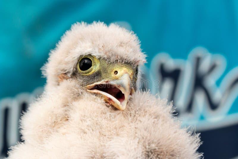 Милый маленький молодой птенец kestrel захваченный для звенеть стоковые изображения rf