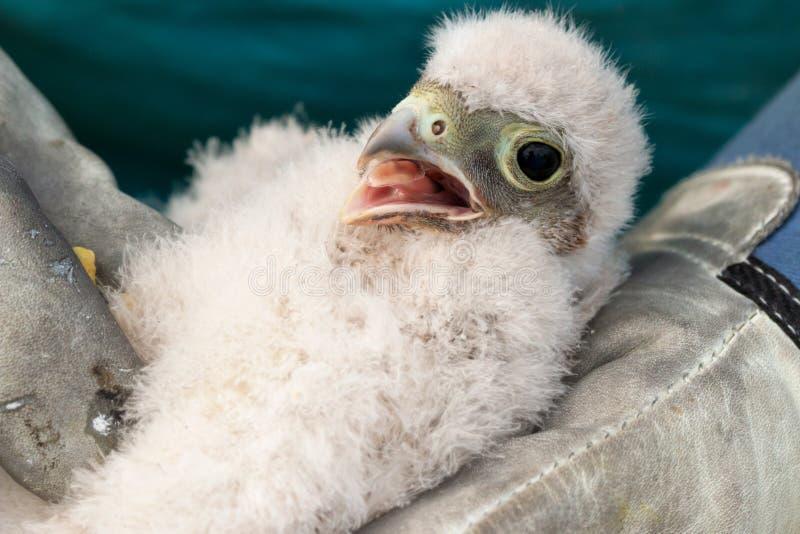 Милый маленький молодой птенец kestrel захваченный для звенеть стоковое изображение rf
