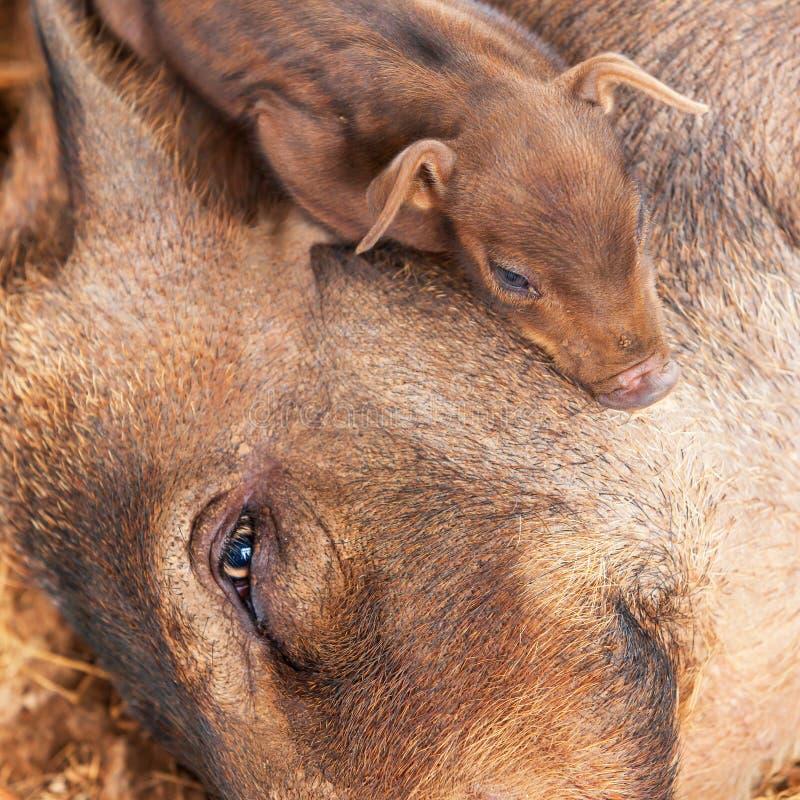 Милый маленький поросенок спать на голове свини стоковое изображение rf