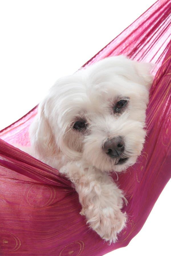 милый мальтийсный terrier стоковое изображение