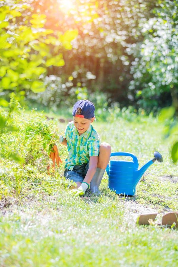 Милый мальчик держащ свежие органические морковей в отечественном саде стоковые изображения rf