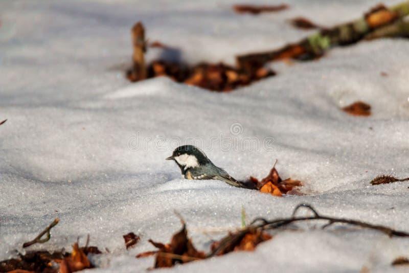 Милый меньшая синица угля ища beechnuts в зиме стоковые фотографии rf