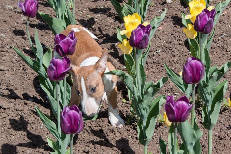 Милый миниатюрный терьер быка играет на поле с тюльпанами Домашние животные стоковые фото