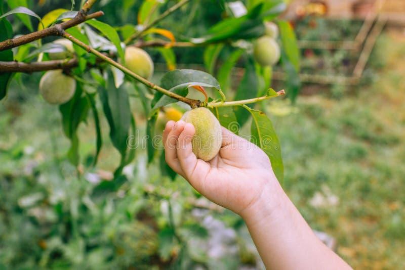 Милый младенец касаясь некоторым персикам, открывает природу и здоровый образ жизни стоковые изображения rf