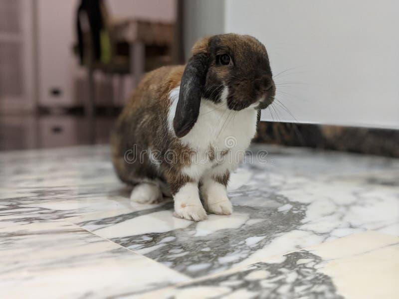 Милый отечественный кролик стоковое изображение