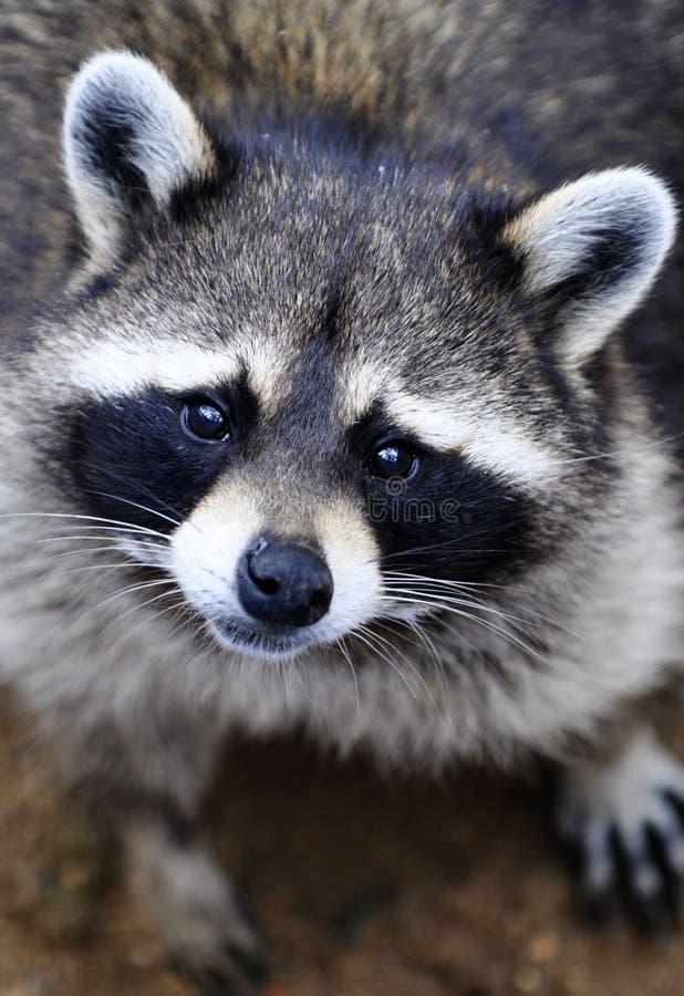 милый плохой raccoon стоковые фотографии rf