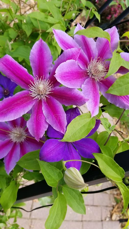 Милый пурпурный цветок шпалеры стоковые фотографии rf