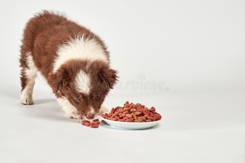 Милый пушистый щенок есть собачью еду на белизне стоковое фото rf