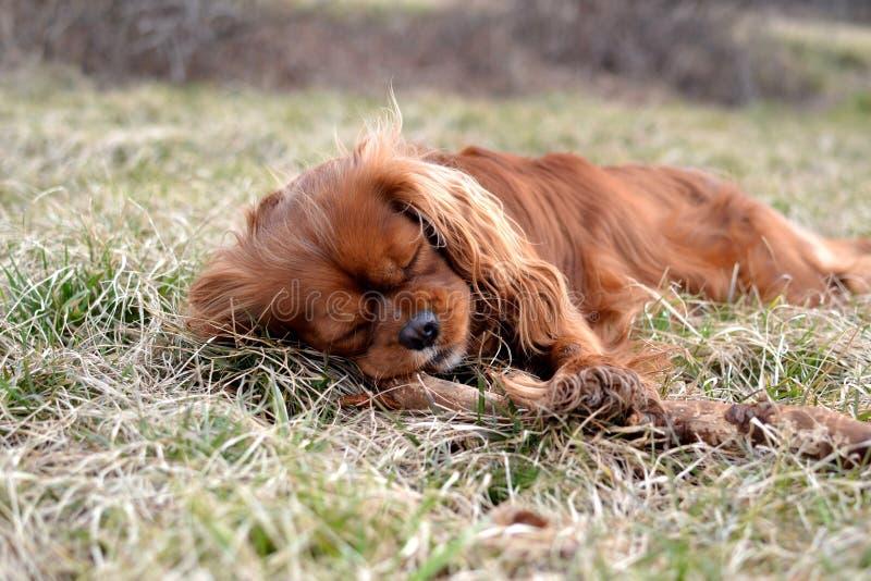 Милый рубиновый кавалерийский щенок spaniel короля Карла спать на луге стоковое изображение
