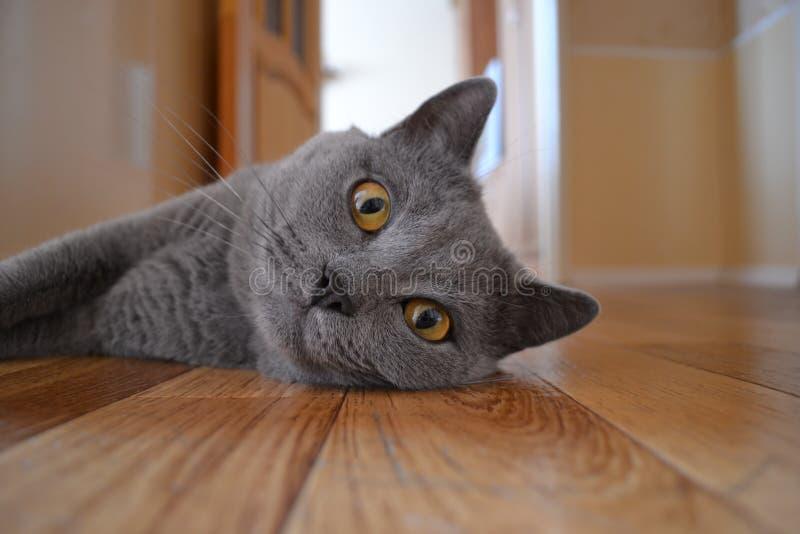 Милый серый великобританский кот shorthair стоковая фотография rf