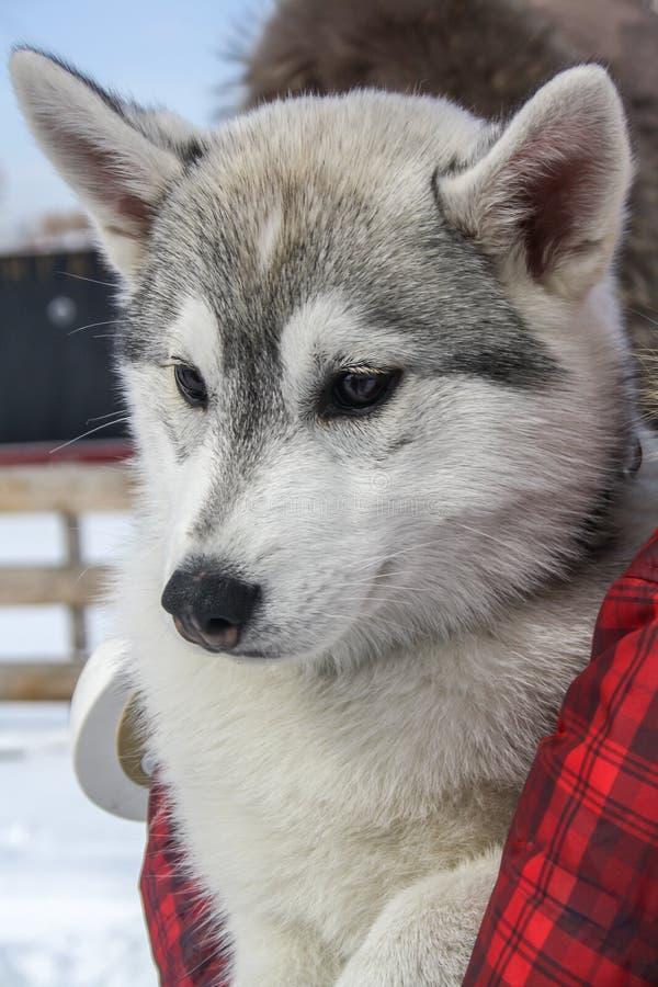 Милый сиплый щенок смотрит вокруг r стоковое изображение rf