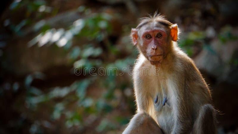 Милый смотря играть главные роли обезьяны стоковые изображения rf
