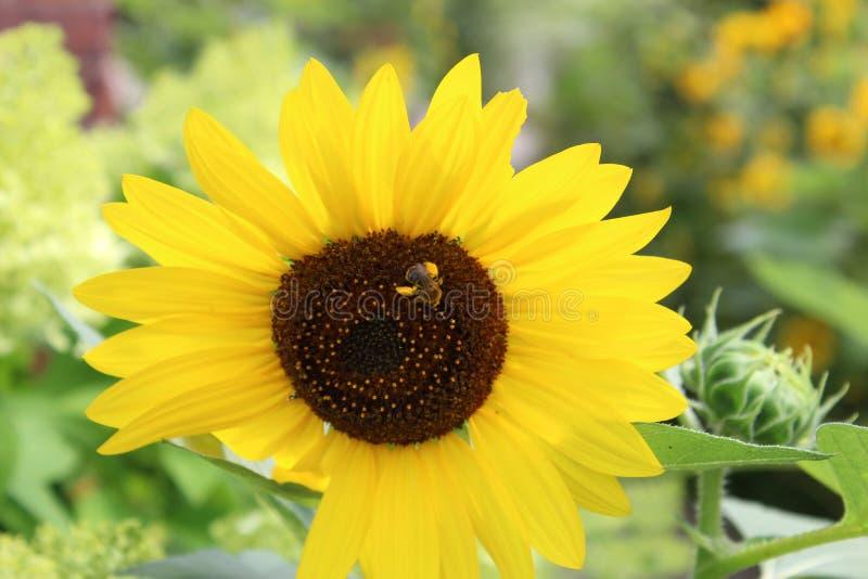 Милый солнцецвет при большие желтые лепестки и пчела двигая через свое centerg стоковые изображения