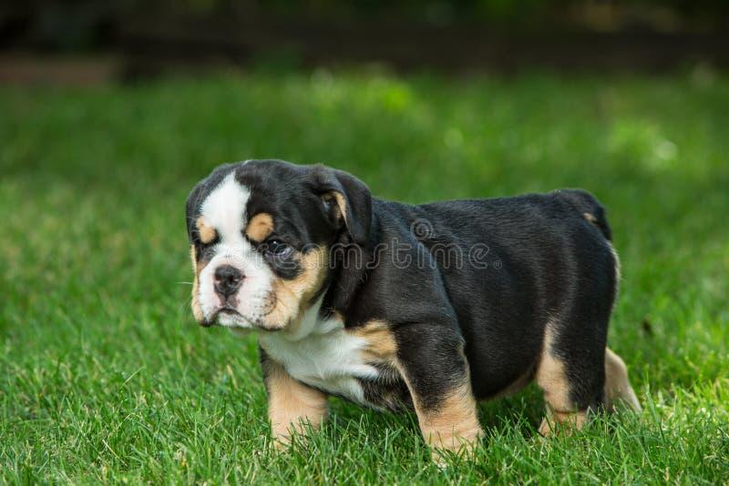Милый черный и коричневый сморщенный щенок бульдога в траве, положении и смотреть на справедливо стоковые фото