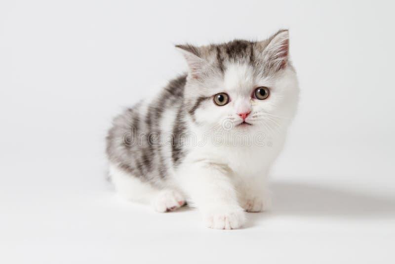 Милый шотландский котенок стоковое изображение rf