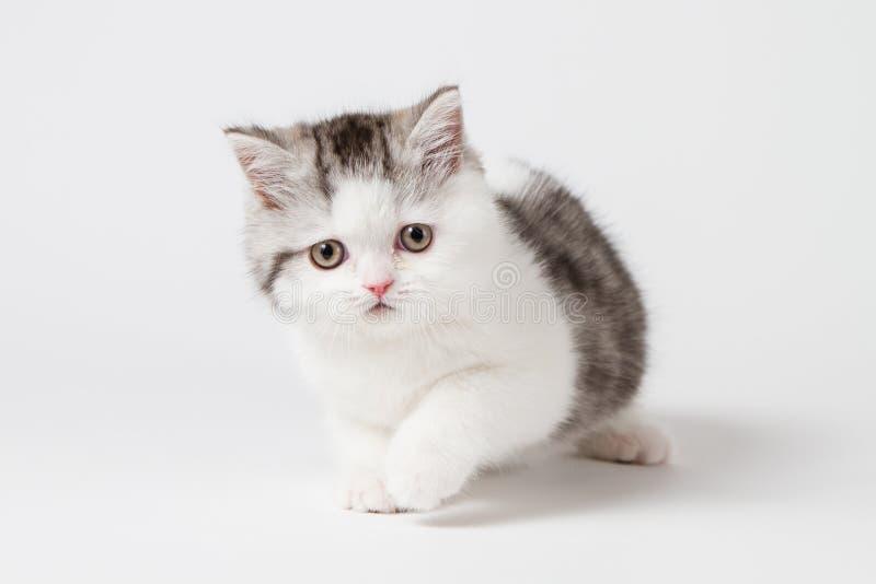 Милый шотландский котенок стоковое фото rf