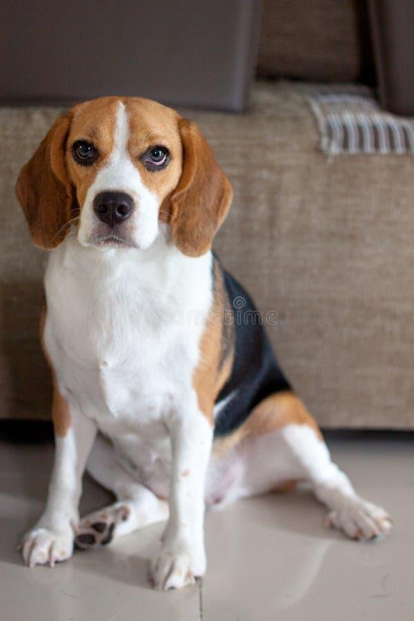 Милый щенок карандаша для глаз в сидя представлении стоковое фото