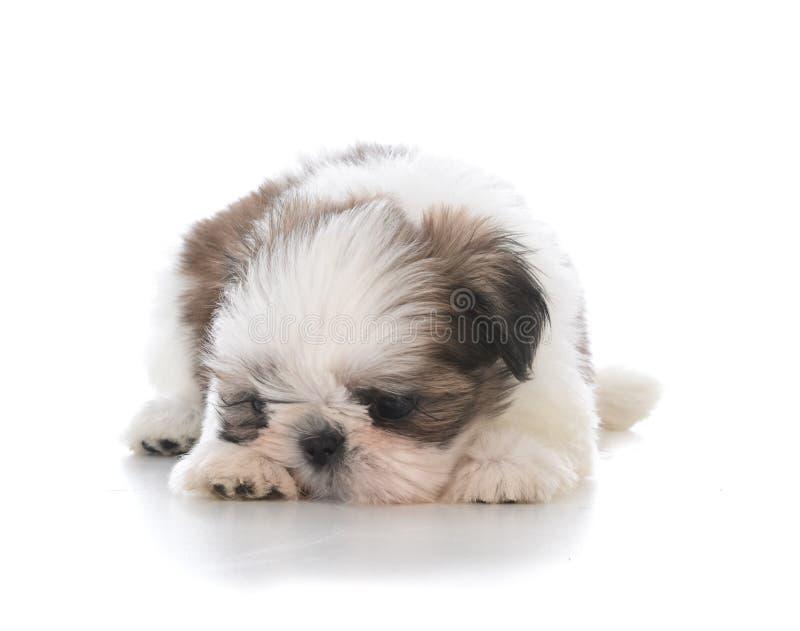 Милый щенок кладя вниз с быть в дурном настроении стоковое фото rf