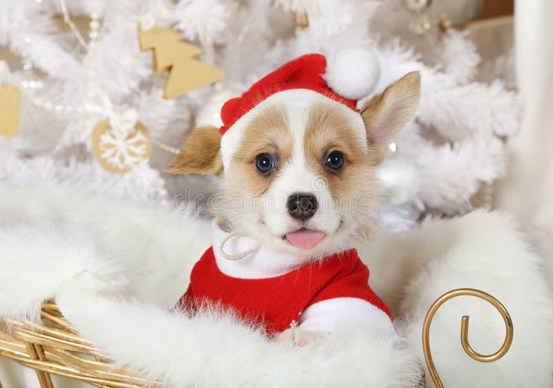 Милый щенок Пембрука Corgi валийца в костюме Санта стоковая фотография